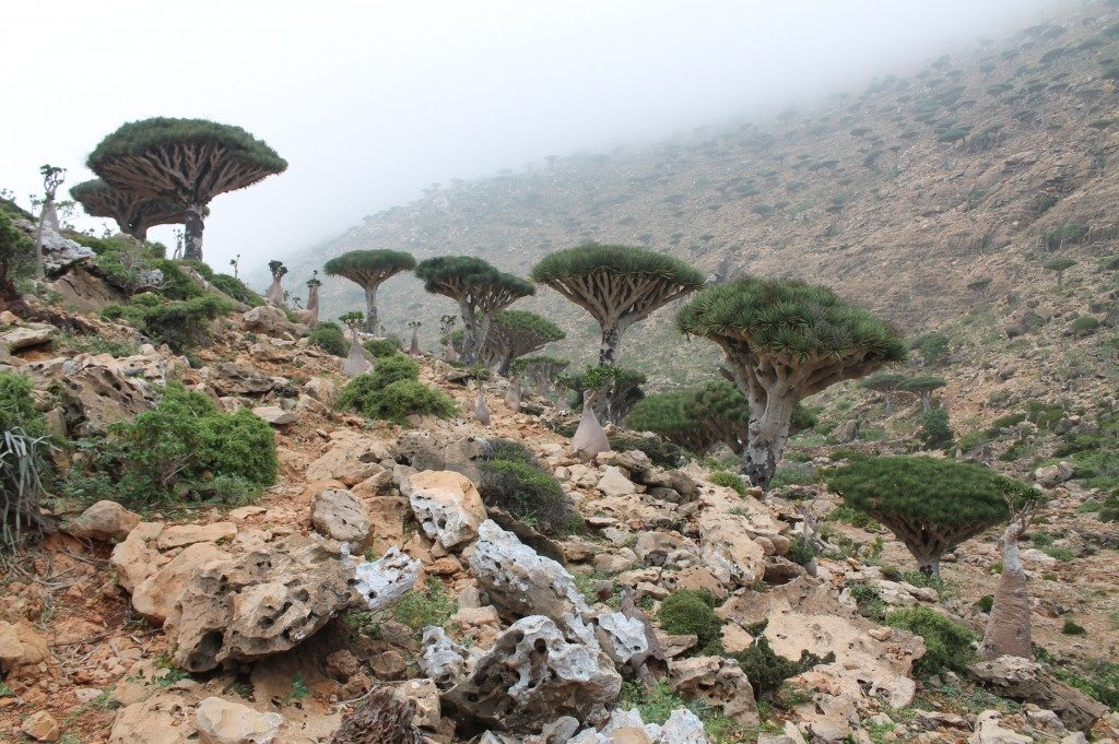 The strangest trees I've ever see - Dragon Blood Trees, Sokotra, Jemen